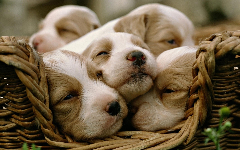 Puppies HD Wallpapers 7