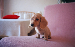 Puppies HD Wallpapers 11